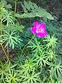 Geranium sanguineum 01.jpg