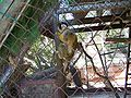 Ghi, pettingzoo (squirrel monkey).jpg