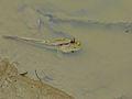 Giant Mudskipper (Periophthalmodon schlosseri) (8121965207).jpg
