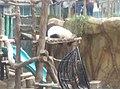 Giant Panda Conservation Centre in Zoo Negara Malaysia 2021 (2).jpg