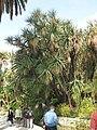 Giant Yucca (Maria Serena).jpg