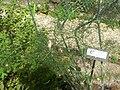 Giardino botanico di Brera (Milan) 312.jpg