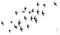 Gierzwaluw Apus apus Jos Zwarts 4.tif