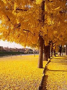 Firenze. Ginkgo autunnale nel parco Le Cascine