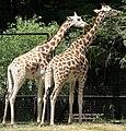 Giraffa camelopardalis Warsaw zoo.JPG