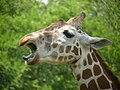 Giraffe at Cameron Park Zoo.jpg