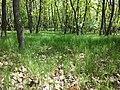 Glasweiner Wald (Schwarzwald) nächst dem Grünen Kreuz sl4.jpg