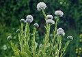 Globularia vulgaris 2.jpg