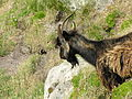 Goats on Lundy (7).jpg