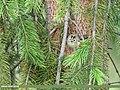 Goldcrest (Regulus regulus) (42082485260).jpg