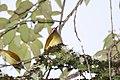 Golden-olive Woodpecker (Colaptes rubiginosus) (4856979046).jpg