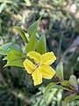 Goodenia ovata flower 01.jpg