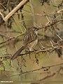 Graceful Prinia (Prinia gracilis) (33372264003).jpg