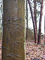 Graffiti in beech bark - geograph.org.uk - 747025.jpg