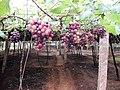 Grapes Plantation @ Cumbum, Theni - panoramio (1).jpg