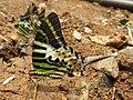 Graphium antiphates - Five-bar Swordtail 27.jpg