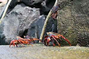 Galápagos Islands - Grapsus grapsus on the rocks.
