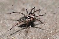 Grass spider (Agelenopsis naevia).JPG