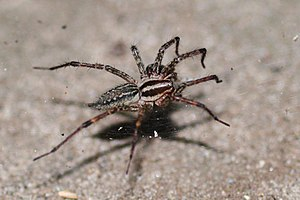 """Agelenidae - Female Agelenopsis (""""grass spider"""")"""