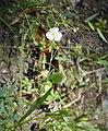 Grassy Arrowhead (Sagittaria graminea) (38859446112).jpg