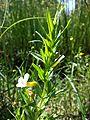 Gratiola officinalis sl3.jpg