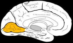 lingual gyrus