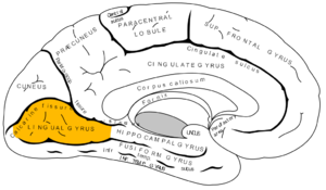 Lingual gyrus - Medial surface of left cerebral hemisphere. (Lingual gyrus visible at left.)