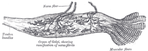 Golgi tendon organ - Organ of Golgi (neurotendinous spindle) from the human tendo calcaneus.