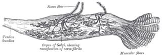 Golgi tendon organ