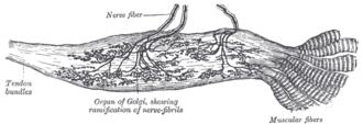 Golgi tendon organ - Labeled diagram of Golgi tendon organ from the human Achilles tendon.