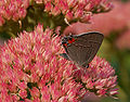 Gray Hairstreak Strymon melinus Ventral Wing 1609px.jpg