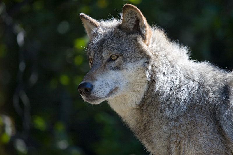 File:Gray Wolf II (2993568176).jpg