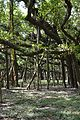 Great Banyan Tree - Indian Botanic Garden - Howrah 2012-09-20 0054.JPG