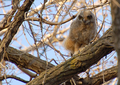 Great Horned Owl Fledgling (466496293).png
