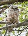 Great horned owl chick in cottonwood tree in Mammoth Hot Springs (27369438601).jpg