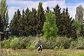 Great spruce trees - panoramio.jpg
