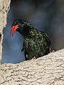 Green Wood Hoopoe, Phoeniculus purpureus, at Mapungubwe National Park, Limpopo, South Africa (30107812481).jpg