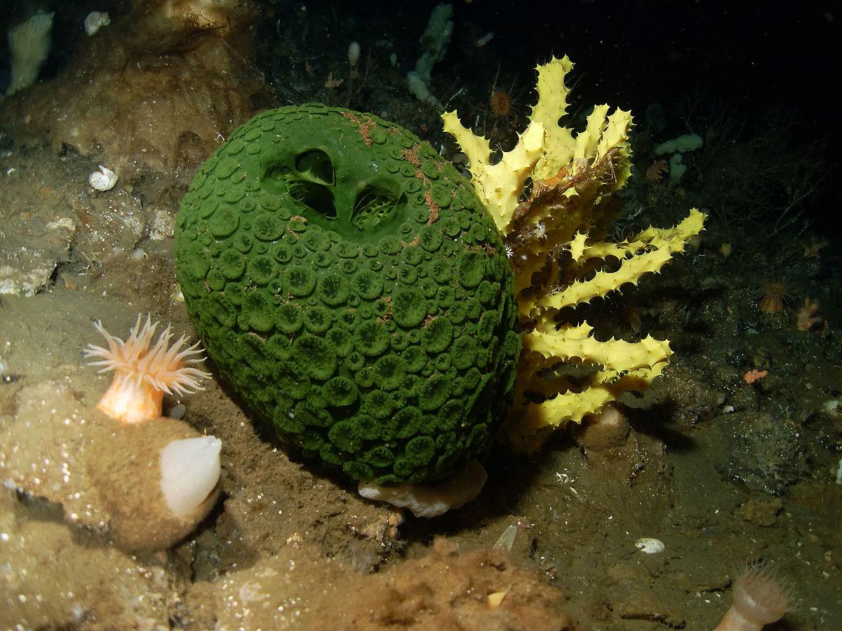 File:Green and yellow sea sponges, Antarctica.JPG