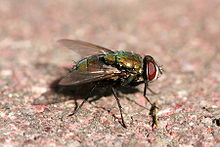 Green bottle fly2.jpg
