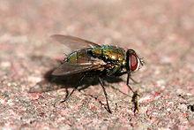 Green bottle fly2.jpg