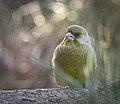 Greenfinch (38971609425).jpg