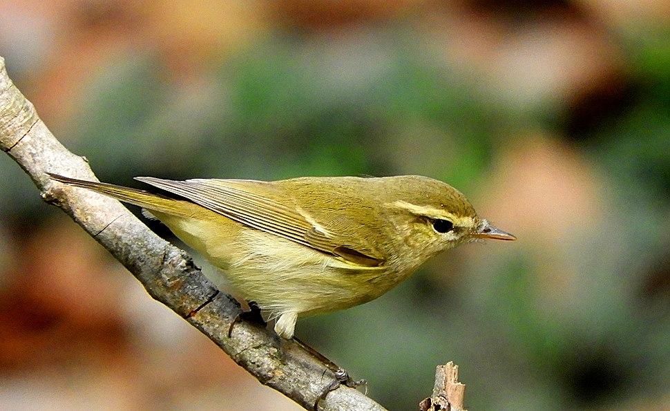 Greenish Warbler Phylloscopus trochiloides DSCN1768-1