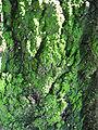 Greenish mold on a tree.JPG