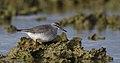 Grey-tailed Tattler (Tringa brevipes) (40598780980).jpg