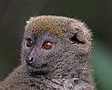 Grey bamboo lemur (Hapalemur griseus griseus) head.jpg