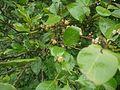 Gymnosporia rothiana (4759377969).jpg