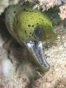 Photo of eel in coral with wide open mouth