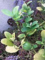 HK Mid-levels High Street clubhouse green leaves plant February 2019 SSG 44.jpg