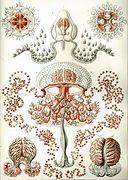 Антомедузы