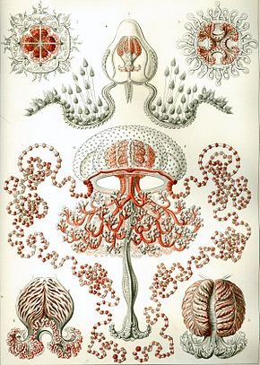 Description de l'image  Haeckel Anthomedusae.jpg.